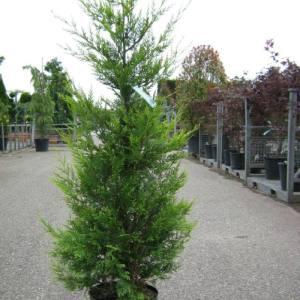 Baumzypressen für Hecken