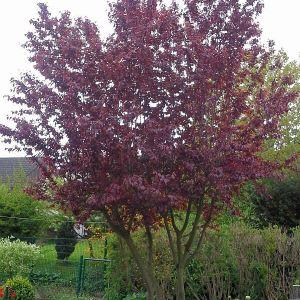 blutpflaume-cerasifera-nigra