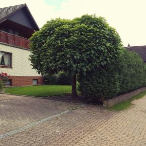 grosser-kugel-trompetenbaum