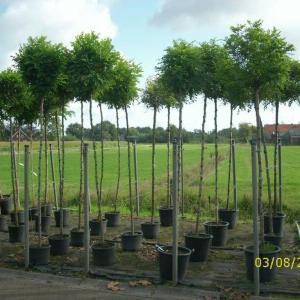 kugelakazien-topfpflanzen