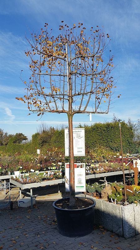 lindenbaum-spalier