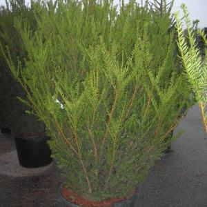 taxus-media-hicksii-solitaer