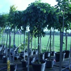 Ulmenbäume