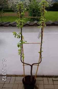 Spalierbaum - Einfache U-Form
