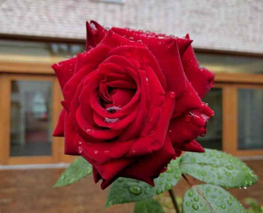 Foto Rose