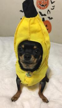 Chiquita Banana Dog Costume by Rasta Imposta