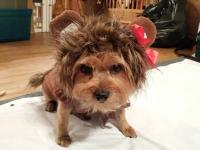 Wizard of Oz Cowardly Lion Dog Halloween Costume | BaxterBoo