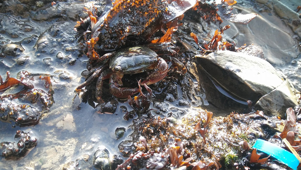 A crab in a Bay Area tide pool.