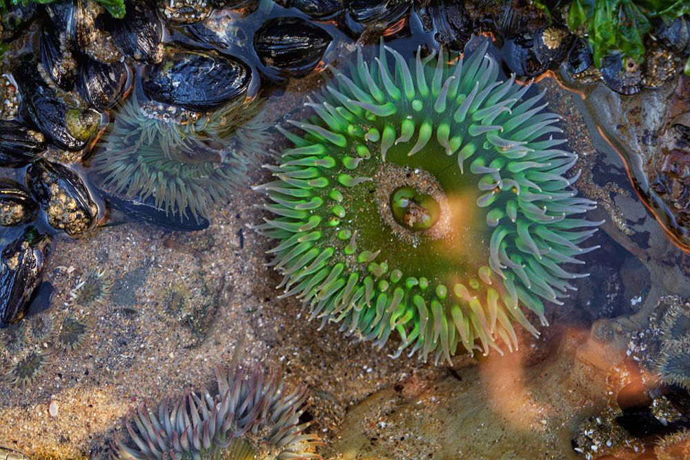 A sea anemone in a Bay Area tide pool.