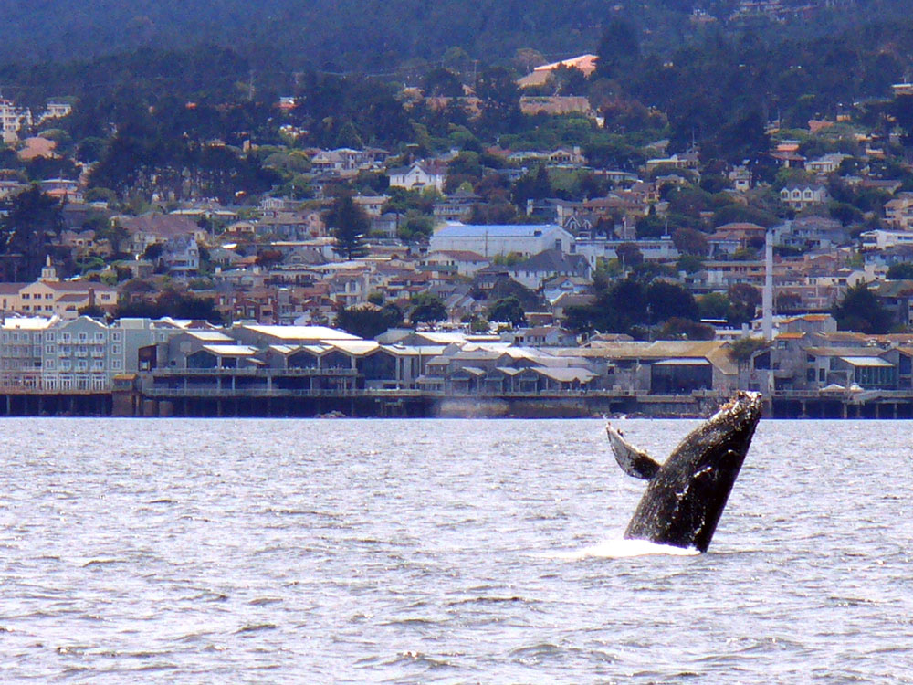 Humpback whale in the Monterey Bay.