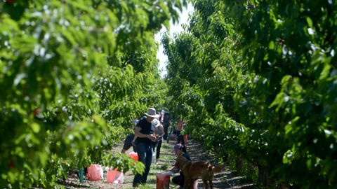 5 great spots for fruit picking in the Bay Area