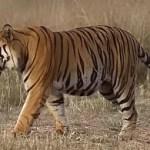 Tiger verletzt 3 jähriges Kind schwer