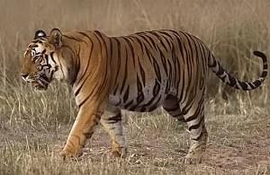Tiger Foto: Attribution Required