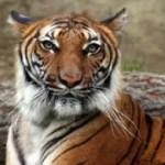 In Bali wurde ein Rettungsschirm für Tiger gespannt
