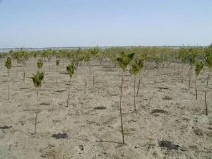 Jahrelang wurden Mangroven (hier in Pakistan) zerstört - erst seit kurzem werden sie wieder neu gepflanzt, um den Küstenschutz zu verbessern. (Foto: wetlandsofpakistan/flickr) Fotoquelle: klimaretter.info