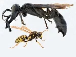 Uns nerven schon unsere winzigen Wespen – in Indonesien ist das Problem etwas größer, nämlich 6,4 cm Foto: Foto: Action Press, dpa picture alliance/zoonar Fotoquelle: bild.de