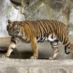 Tigerzählung auf Sumatra abgeschlossen