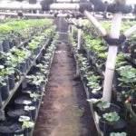 Auf der Erdbeerplantage