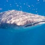 Ein 13 m langer Walhai in Yogyakarta gestrandet