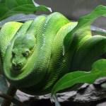 Python tötet Wachmann in Bali