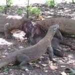 Komodowaran beißt Tourist