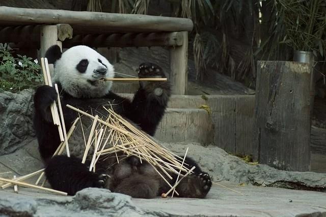 Zwei Panda in Indonesien