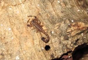 Gefährliches Bali Mitbringsel - Skorpion klettert aus Reisekoffer