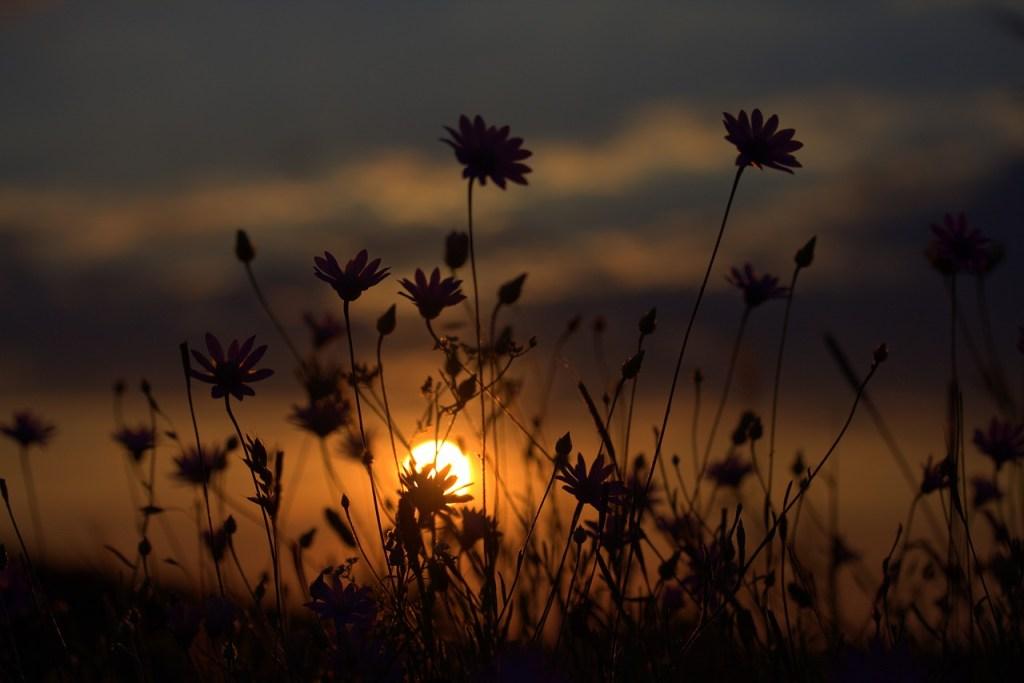flowers, camp, sunset