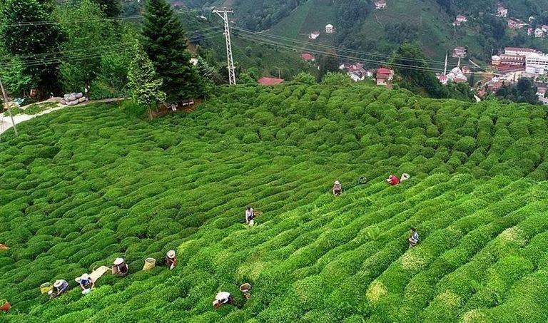 Turkey's tea exports rise 51% in Q1 1