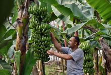 Photo of Turkish Domestic Banana Producers Aim for the Termination of Imports by 2023
