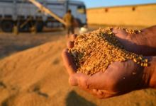 Increase in wheat production will continue in 2021 10