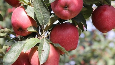 Isparta apple is demanded both in foreign and domestic market 22