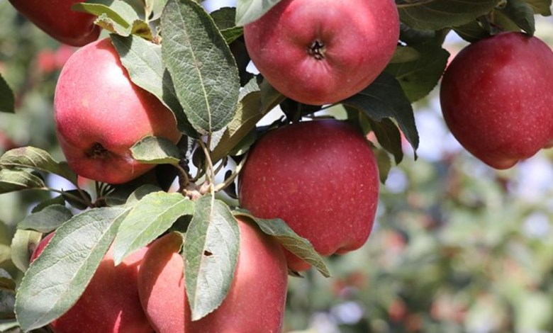 Isparta apple is demanded both in foreign and domestic market 1