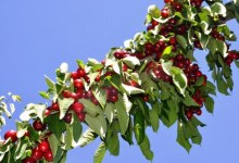 Photo of Turkey exported cherry & sour cherry and tomato the most in the Jan-Sept period