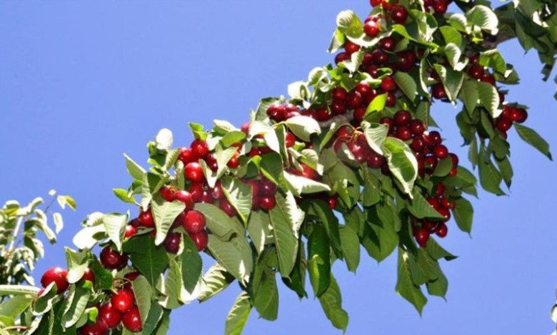 Turkey exported cherry & sour cherry and tomato the most in the Jan-Sept period 1