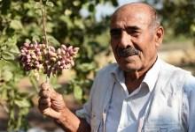 Photo of 500 tons of pistachio harvest is expected from Mardin Bektas village