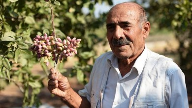 500 tons of pistachio harvest is expected from Mardin Bektas village 22