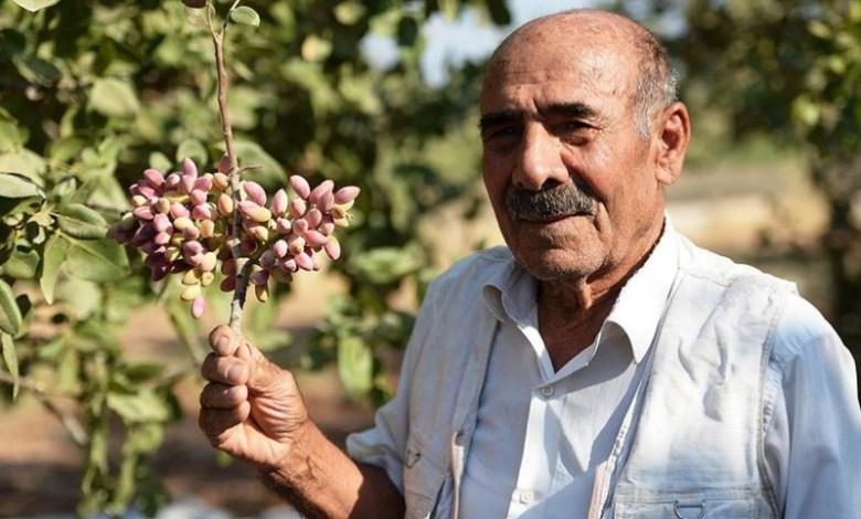 500 tons of pistachio harvest is expected from Mardin Bektas village 1