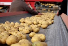 Potato producers expect export incentives due to insufficient domestic consumption 10