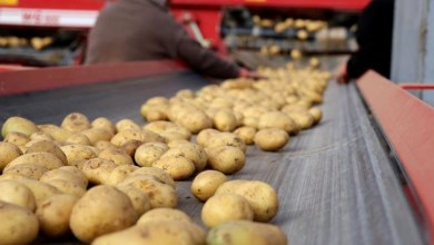 Potato producers expect export incentives due to insufficient domestic consumption 26