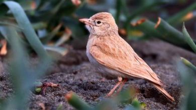 Bar-tailed lark spotted in Turkey for 1st time 5