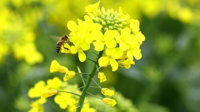 Oil imports can be reduced with canola oil 27