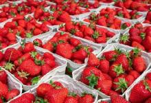 Turkey: Strawberry exports increased 333% in the first quarter of 2021 2