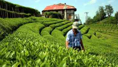 Turkey: A new era begins in tea agriculture after 83 years 28