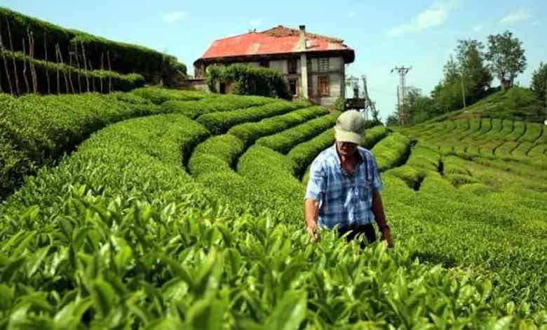 Turkey: A new era begins in tea agriculture after 83 years 1