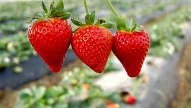 Kursunlu strawberry is exported to 4 countries, expected to bring about ₺300 million income 9