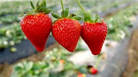 Kursunlu strawberry is exported to 4 countries, expected to bring about ₺300 million income 1