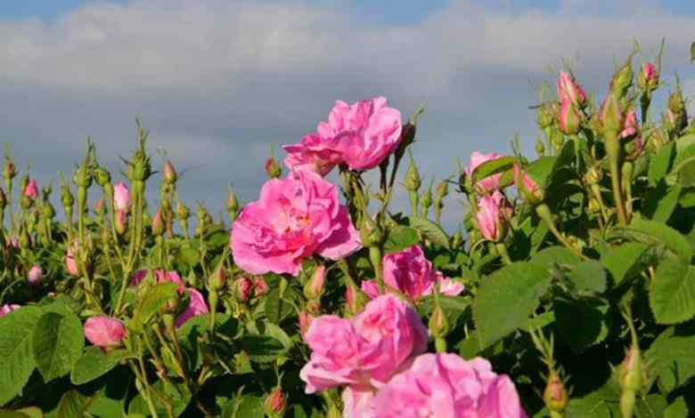 Rose oil's price is €5-€7 thousand per liter 1