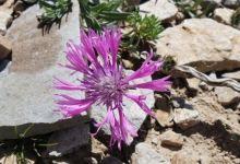 New cornflower species discovered in eastern Turkey 3