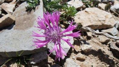 New cornflower species discovered in eastern Turkey 23